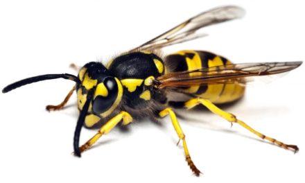 Hvepse og bier i paradis